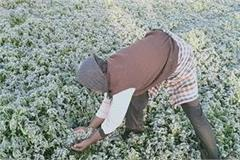 heavy damage to crops due to frost in mp