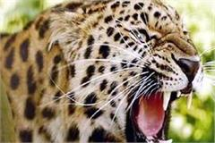leopard attack on scooter riders