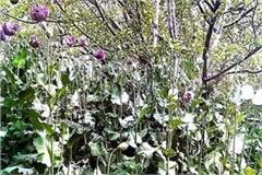 opium farming busted in nirmand