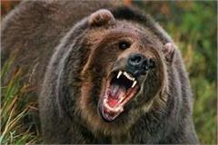 bear attack on shepherd