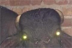 buffalo chewing grenade