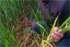 yellow rust disease spotted on wheat crop in punjab haryana