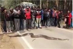 lakhimpur kheri 20 foot long python jammed on the road