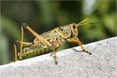 farmers restless due to grasshopper attack in fields of punjab bordering ratia