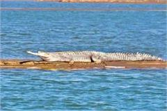 survey report mp s chambal river gongs number one crocodiles