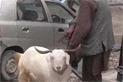 maghi festival boom in sirmaur prized goats sold in the market