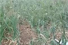 garlic farming is proving to be a boon for farmers