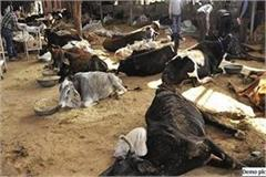 municipal corporation is not giving the correct figure of the death of cows