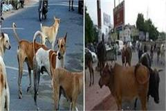 5 year old innocent killed by stray dogs and cattle terror in bhopal