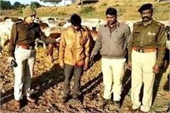 lady singham saved the lives of 24 cows by playing on her life