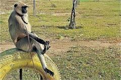 private school had kept langur without permission