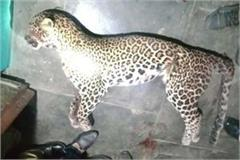 when leopard came among family sitting in kitchen