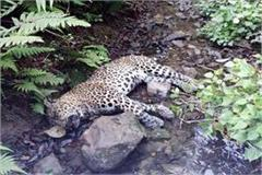 deadbody of leopard found in forest
