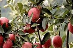 himachali apple