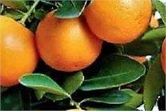 punjab agro launches branded fruits concept launches  punjab kinnu
