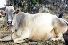 himachali hill cow
