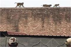 the eastern gate of the taj mahal is occupied by monkeys