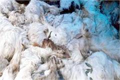 death of 62 sheep goats eating poisonous grass