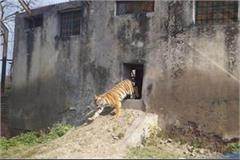 ludhiana two lions brought in tiger safari to attract people