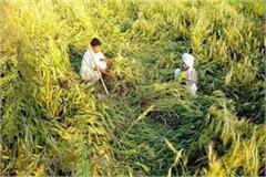 good news for farmers of haryana compensation will be given on crop