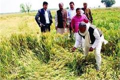 up crop destroyed due to heavy rains alert issued