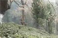kangra s tea gardens have been struggling with this problem for a decade