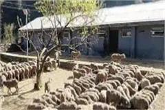 marino sheep reached mandi after 5 decades