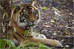 tiger is just 10 km away from katni