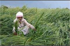 crops destroyed due to continuous rain for 3 days