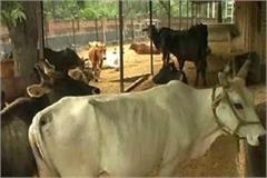 this is a cowshed where stray animals are found