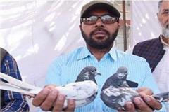 different breeds of pigeons