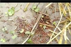 rain and hailstorm in state increased the concern of farmers