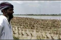 yamuna water level rises crops dipped