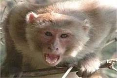 woman falls from roof with child in monkey attack