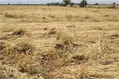 farmers upset with strong wind and unseasonal rain