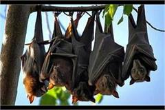 corona s awe bat of bats arrived in rampur people listening to the voice