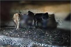 when 2 oxen killed leopard