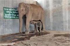 good news from panna tiger reserve