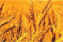 punjab gears up for wheat procurement