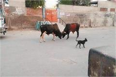 lockdown bulls clashing with each other on the empty streets of varanasi
