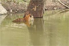 tiger t 21 did not die due to corona virus in seoni