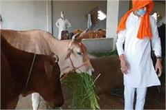 lockdown bjp mla arrives at gaushala to feed cattle