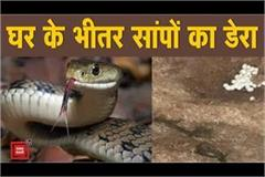 snake panic in corona s fear two snakes camped in woman s house