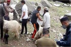 death of 11 goats from eating poisonous grass