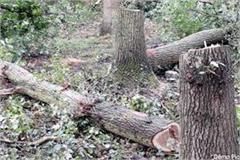 video of illegal felling of trees goes viral stir in forest department