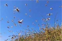 locust attacked standing crop on indo pak border