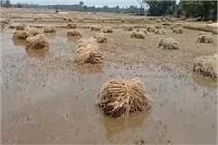 the rains and hail storms caused havoc with devastating crops