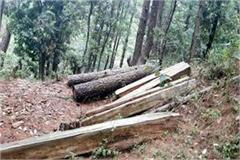 illegal felling in forest exposed 62 logs of cedar recovered