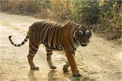 mahua went pick up sister umaria  tiger attack sister in law sister died