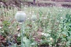 opium farming busted case filed against 3